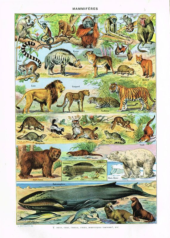 Original Vintage French Larousse Print Lithograph Mammals Mammiferes 1920s Full Colour Ready To Frame 29 Cm X 20 5 Cm 11 4 X 8 Inches Animal Posters Animal Illustration Animal Wall Art Decor