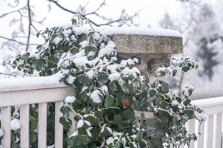 Snowy Ivy On Fence by Jenny Rainbow