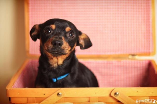 Major - URGENT - City of Corsicana Animal Shelter, Corsicana, Texas - ADOPT OR FOSTER - 2 year old Msle Miniature Pinscher/Chihuahua Mix