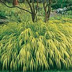 """Golden Hakone Grass-  Full sun to partial shade- 12-14"""" tall-  wonder if the bunnies would hide out in there."""