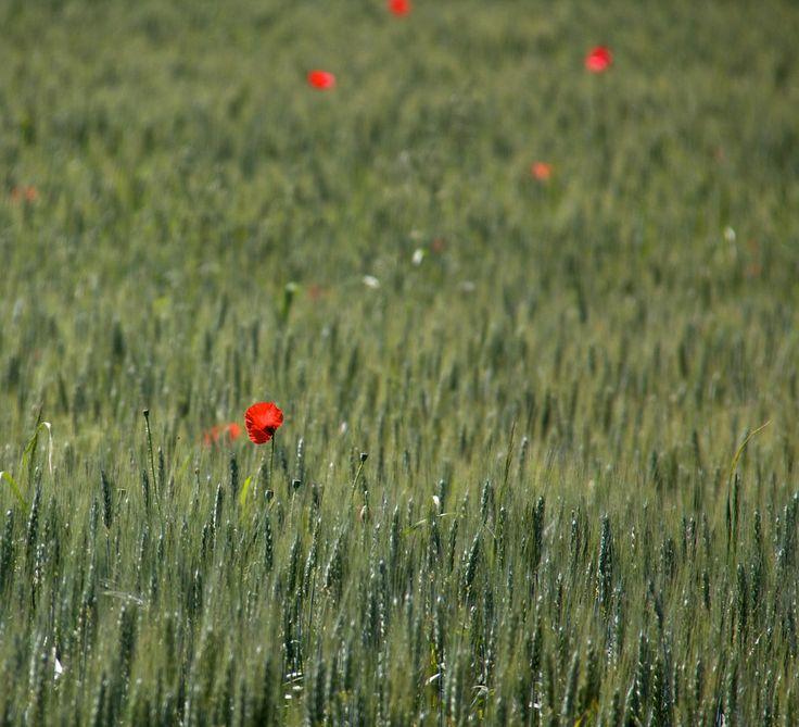 Flanders poppy by Köles Mihály on 500px