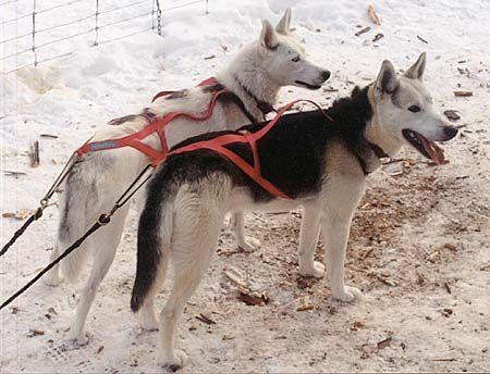 Seppala Siberian Sleddog - Perro de trineo - Wikipedia, la enciclopedia libre