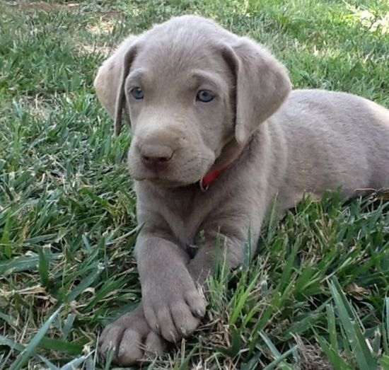 Silver Labs....can't even know how much I want one of these.