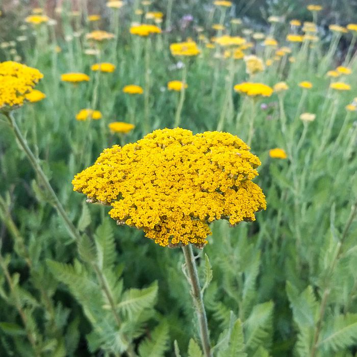 Yarrow Parker S Gold Organic Plants Planting Flowers Perennials