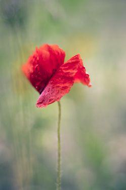 Red poppy flower on a rainy day
