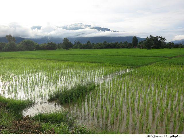 Paddy Field   Vat Phou   Wat Phu   Pakse   Laos   UNESCO World Heritage