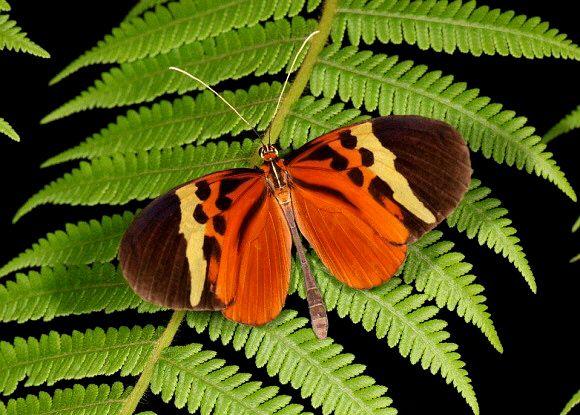 Ithomiini | Melinaea menophilus , Ecuador © Tony Hoare