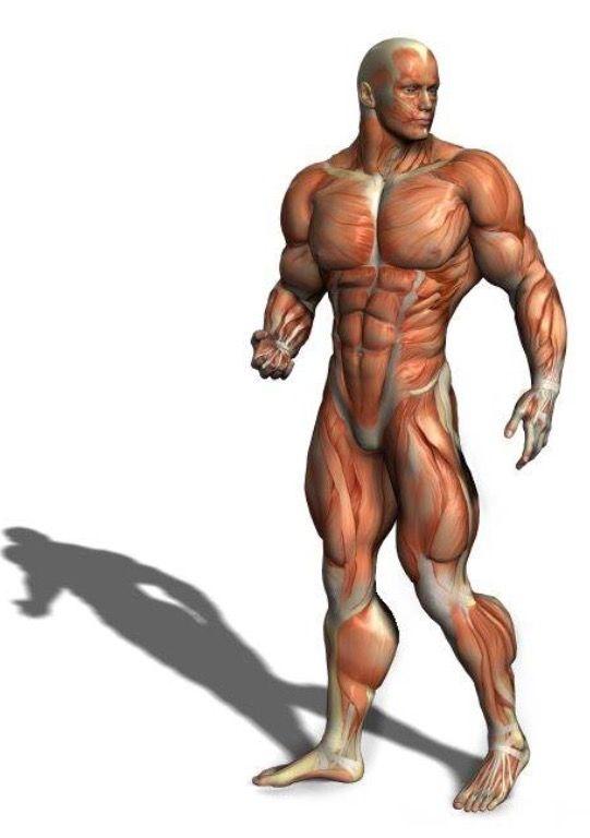 Mejores 24 imágenes de Anatomy en Pinterest | Anatomía muscular ...