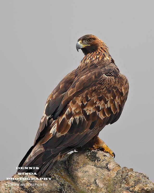 Steenarend, Golden Eagle (Aquila chrysaetos)  Such a majestic bird, this was a Bulgarian encounter © www.wildlifepics eu
