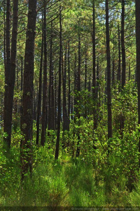 pins des landes les sous bois de la for t landaise paysage d 39 aquitaine arbres et for ts. Black Bedroom Furniture Sets. Home Design Ideas