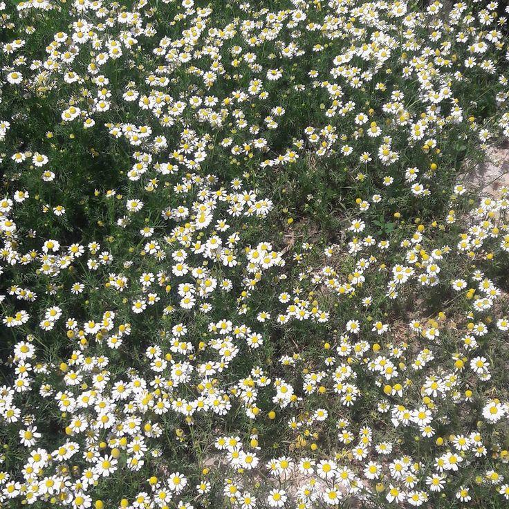 G��N��YD��N.. ☘ Şimdiden iftara ne yapsam diye düşünenler. �� Düşünün düşünün bunlar güzel düşünceler....�� Rabbim kolaylık versin...özellikle yaşlılara, zor işte çalışanlara, güneşin altında çalışanlara. Bizler evde rahatız, ama duyduğuma göre bu ramazan serin geçecekmiş.�� . . #flowers #flower #petal #picoftheday #photography  #photooftheday #beautiful #instagood #all_shots #love #pretty #plants #blossom #sopretty #spring #summer #flowerstagram #flowersofinstagram #flowerslovers…