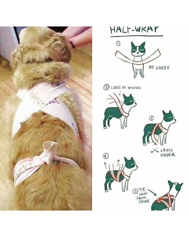 This is how to make a tight wrap for your pupper to make them feel safer or more secure, it's useful for thunder, fireworks, loud rain, and other things your pup is afraid of. Don't make it too tight, make sure you can fit one or two fingers under the wrap -Sam Sam The Sammy Sam Man