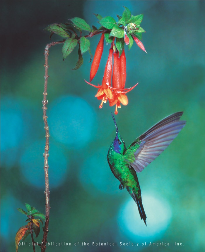 Best Hanging Basket Flowers For Hummingbirds : Best images about fuschia on shade plants