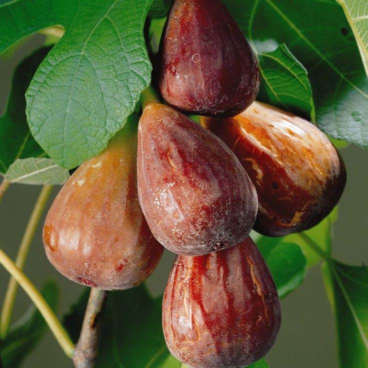 Fig 'Brown Turkey' - Fig Trees - Thompson & Morgan