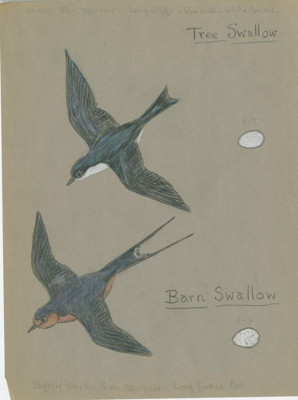Tree Swallow, Barn Swallow | saskhistoryonline.ca