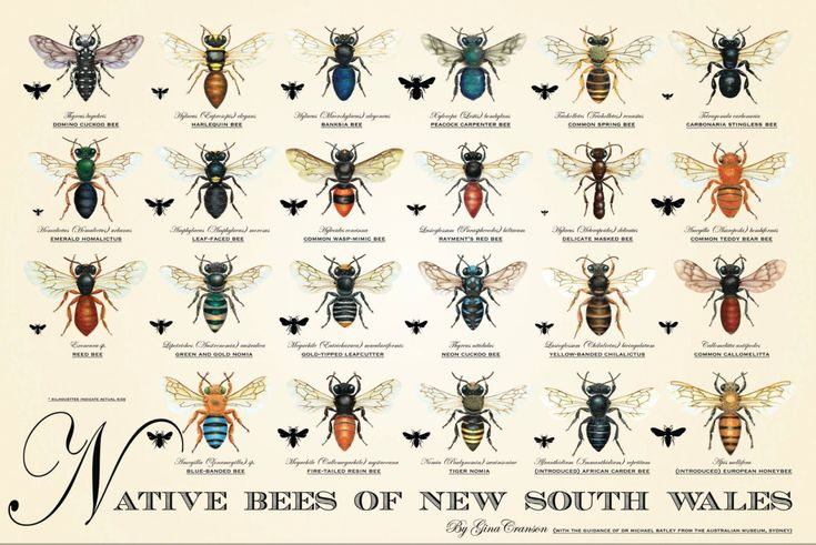 My Native Bees of NSW poster was created to help with identification and befriending of our beautiful Queensland native bees, all of whom are important local ecosystem partners – pollinators and food sources for the bigger creatures. And then, of course, there are the honeymakers among them. ​Dobson & McEwan Master Printers (http://dobsonmcewan.com.au) did such a beautiful job, offset printing my watercolour bees on beautiful thick 250gsm matt stock. The poster is A2 size, measuring 594mm…