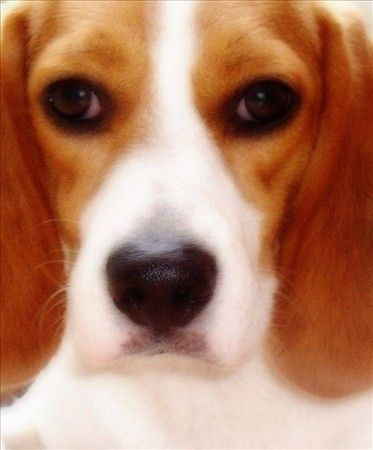 Star of KL Kingdom Kennel - KL Kingdom Kennel Siberian Huskies & Beagles