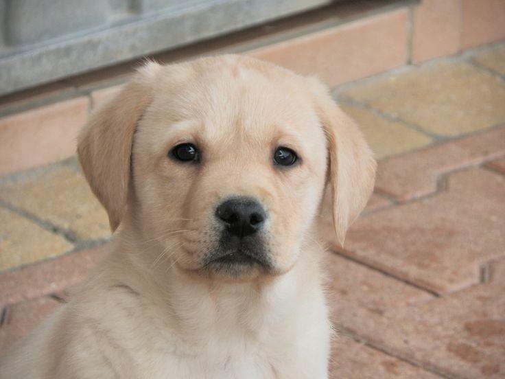 Labrador sable ♥ 2M ♥