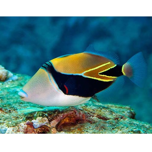 Reef triggerfish rectangular triggerfish or wedge tail for Hawaii state fish humuhumunukunukuapua a pronunciation