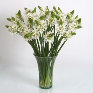 Star of Bethlehem Ornitoghalum flowers, also known as Ornithogalum, are shipped direct to you from the farm. Popular for weddings and bridal bouquets, fresh cut Star of Bethlehem flowers contains  white tepals with striking stamens. We recommend having the star of bethlehem delivered 4 days before your event as blooms are shipped in a closed bud stage. Star of Bethlehem Ornithogalum flowers are available throughout the year at wholesale pricing for the bride. FREE SHIPPING! $79