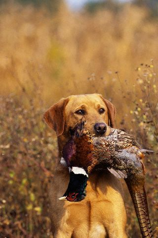 Dad loved hunting. We also ate what he brought home. Little did we know that pheasant was considered a delicacy ! We also had a hunting dog as a pet.