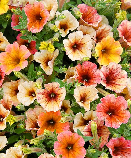 Blandade petunior Cascadian® 'Indian Summer'