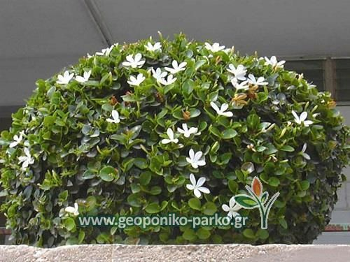 Θάμνοι ψηλής μπορντούρας : Καρίσσα θάμνος - Carissa grandiflora