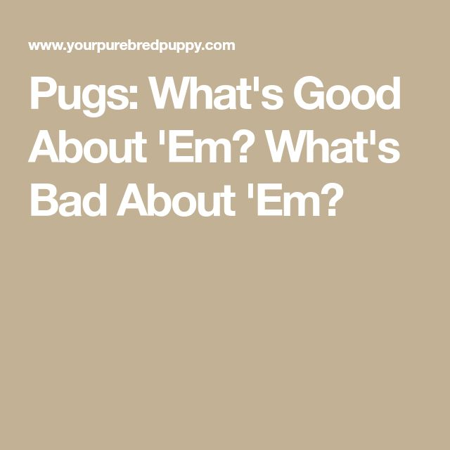 Pugs: What's Good About 'Em? What's Bad About 'Em?