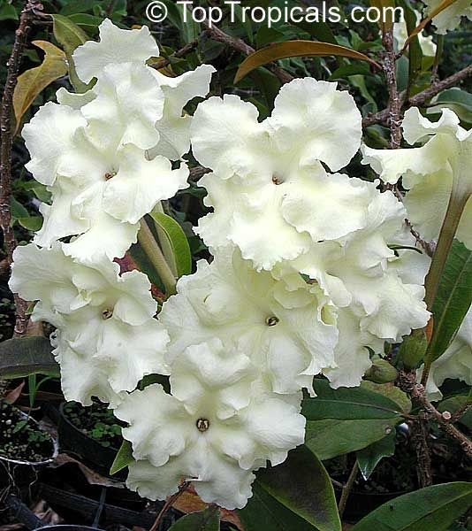 Lady of Night...the smell of this flower is amazing but it's fragrant only at night!