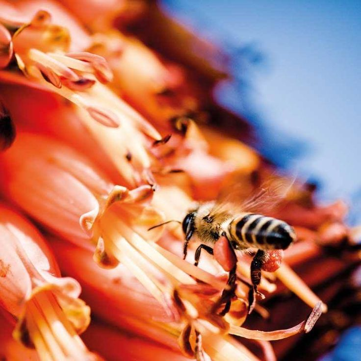 #Fact 115: Aborigines in northern Australia call native honey 'Sugarbag', because it is so sweet. The native honey bees are called 'Sugarbag Bees'. Because native bees have no sting, the Aborigines have never had to worry about being stung!