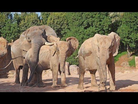 El nuevo macho reproductor de elefante africano ya puede verse con las hembras en Bioparc Valencia (octubre 2013). Más información: www.bioparcvalencia.es