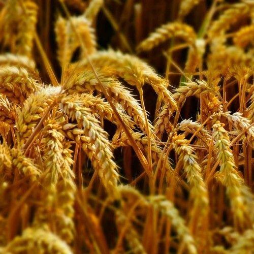 #зерновые_сепараторы Узнайте всё об способах очистки зерна для последующего использования тут -