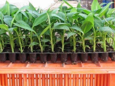 HOW TO GROW BANANA TREES FROM SEED |The Garden of Eaden How to grow all kinds of things.