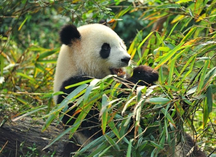 Pandas have been affected by many earthquakes in China. Here we get on-the-spot reporting about panda responses at a Szechuan Conservation and Research Centre.