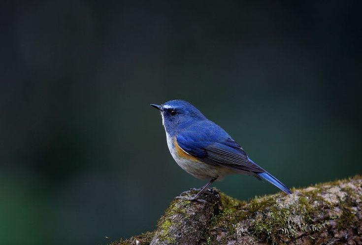 ルリビタキ : T/Hの野鳥写真-Ⅰ