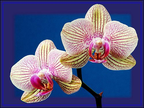 ORCHID BLOOMS by peter laws by pedrol