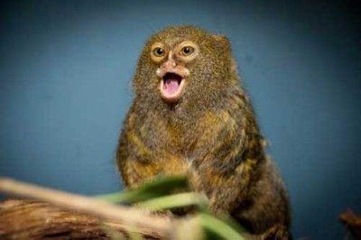Parmak Maymunlar