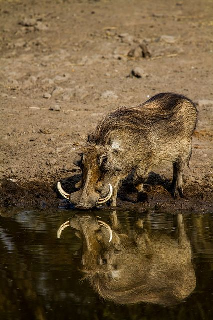Warthog: utilize empty dens created by aardvarks as hidey-holes and nests for young