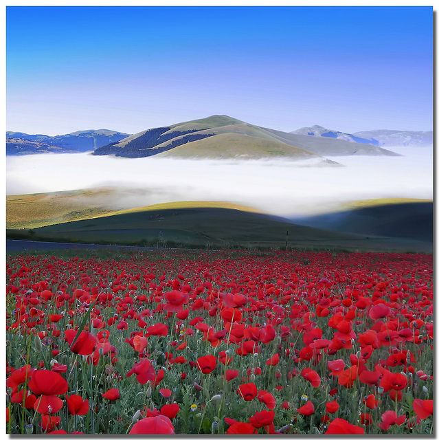 Poppy fields in Umbria, Italy