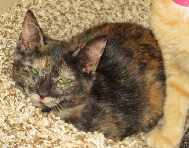 """8/26/16 Lily """"6-195""""- URGENT - TOWN OF BABYLON ANIMAL SHELTER in West Babylon, NY - ADOPT OR FOSTER - 4 MONTH OLD Spayed Female Tortoiseshell Domestic SH"""