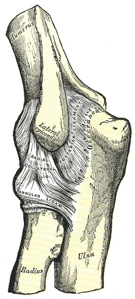 Posterior and radial collateral ligaments of the elbow ...