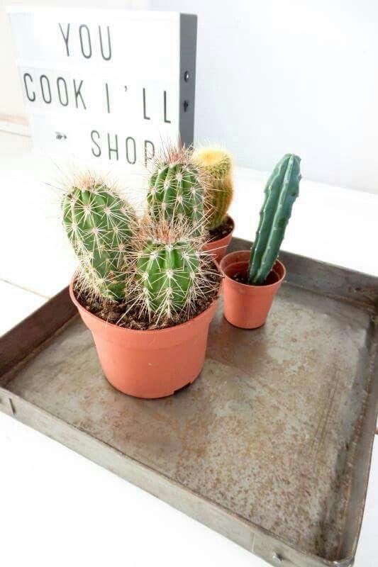 Cactussen op een stoer metalen dienblad