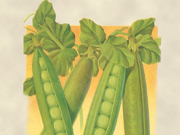 how to cook snap peas from the garden