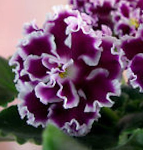 African Violet Plant Amadeus - Russian (Morev) easy to take care of indoor plant great for Tyrrhenians and come in all textures and colors!