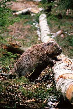 European beaver, Wigry National Park, northeast Poland