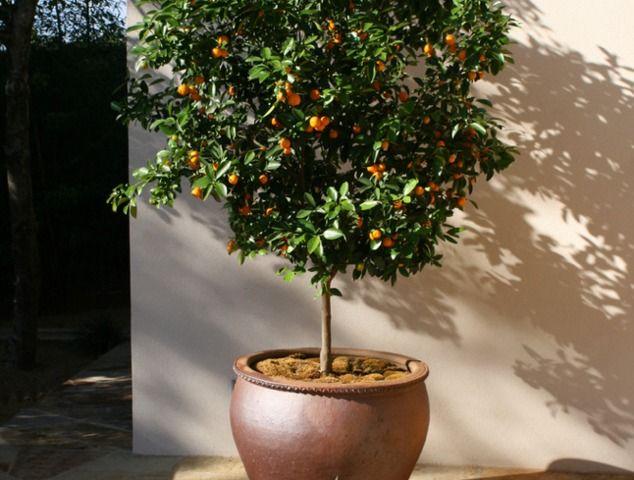 les 25 meilleures idées de la catégorie arbre fruitier nain sur