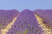 600-05524612 English Lavender Field Valensole Valensole Plateau Alpes de Haute Provence Provence Alpes Cote d Azur Provence France