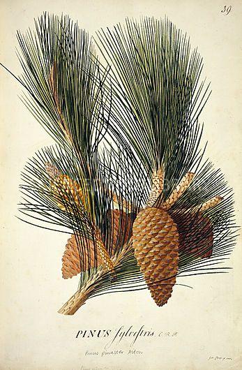 Pinus pinaster, Maritime/Cluster Pine