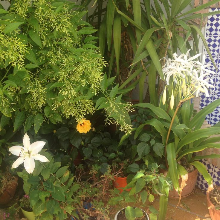 M s de 25 ideas incre bles sobre planta de lirio en pinterest for Azucena plantas jardin
