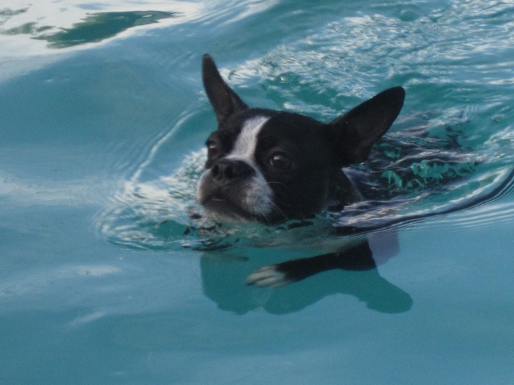 Molly the swimming boston terrier